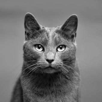 https://cf.ltkcdn.net/cats/images/slide/243794-850x850-grey-manx.jpg