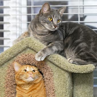 https://cf.ltkcdn.net/cats/images/slide/243800-850x850-two-manx.jpg