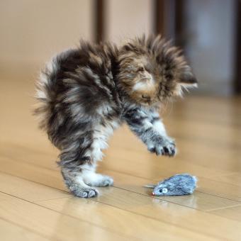 https://cf.ltkcdn.net/cats/images/slide/243808-850x850-manx-playing.jpg