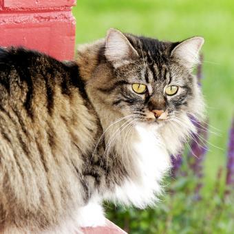 https://cf.ltkcdn.net/cats/images/slide/243810-850x850-manx-on-the-field.jpg