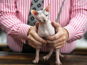 Donskoy at TICA World of Cats show