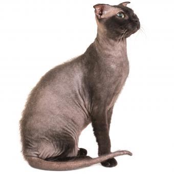 Ukrainian Levkoy cat breed