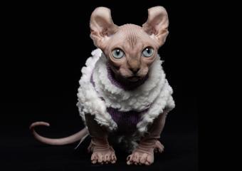 Hairless Dwelf cat wearing sweater