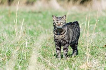 Cute Manx Cat Images