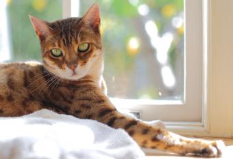 bengal cat sitting in window