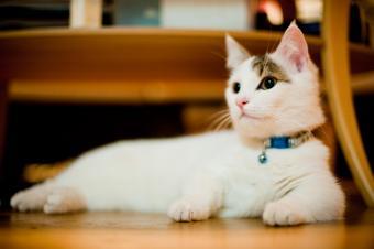 Cute tabby munchkin cat