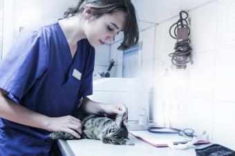 Vet diagnosing a sick cat