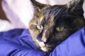 Old Sick Tortie Cat