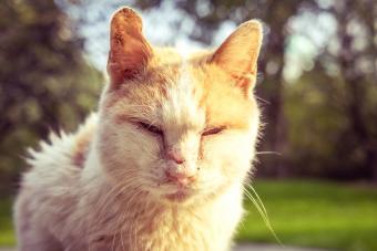 Causes, Symptoms, and Treatment of Feline Mange