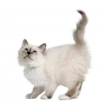 https://cf.ltkcdn.net/cats/images/slide/245219-835x850-birman-kitten.jpg