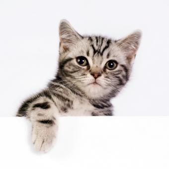 https://cf.ltkcdn.net/cats/images/slide/245221-565x565-british-shorthair-kitten.jpg