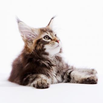 https://cf.ltkcdn.net/cats/images/slide/245227-850x850-maine-coon.jpg