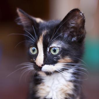 https://cf.ltkcdn.net/cats/images/slide/245231-850x850-Calico.jpg