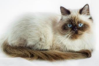 A Seal Point Himalayan Cat