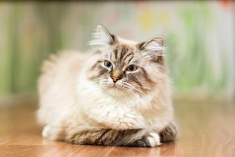 A Lynx Point Cat