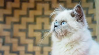 Portrait of Himalayan Young Cat