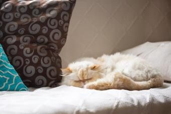 Himalayan Cat Sleeping on the Couch