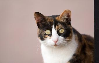 Portrait Of Calico Cat