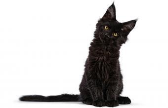 Black Maine Coon cat kitten
