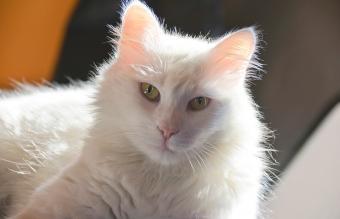Beautiful Persian white cat