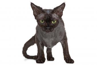 Devon Rex Black Cat