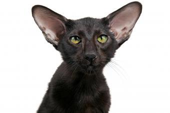 Oriental Short Hair Black Cat