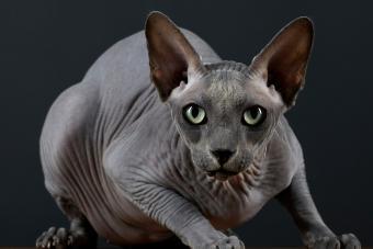 Sphynx Black Cat