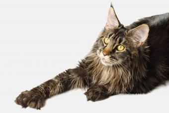 Maine Coon cat with polydactyl paws