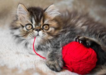 Tabby Persian kitten with yarn ball