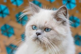 Young Himalayan cat