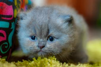 Four week old grey Persian kitten