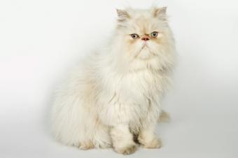 Sitting white Persian cat