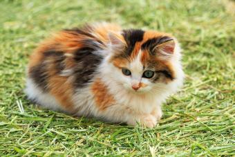 Calico kitten on grass outside