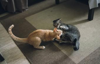Funny Videos of Cats Fighting