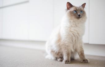 Ragdoll cat with intense blue eyes