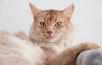Somali cat, sorrel-silver