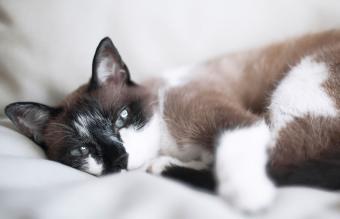 resting siamese mixed european cat