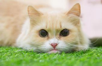 Munchkin cat on artificial grass