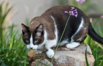 Munchkin cat relaxing in the garden
