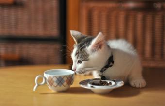 Munchkin kitten sniffing cup