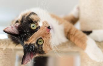 Fascinating Calico Cat Behavior and Personality Traits