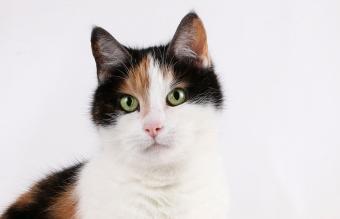 tricolored cat head portrait