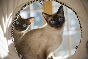 Siamese Cat Personality and Behavior