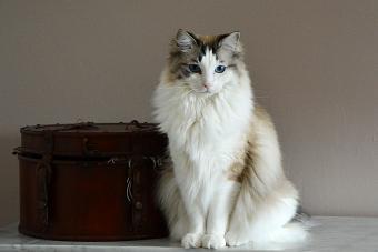 Inspiring Ragdoll Cat Rescue Associations