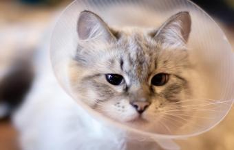 Beautiful white cat in a plastic collar