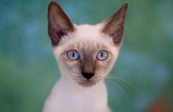 Close up of Siamese kitten