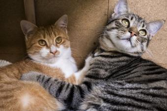 Color Patterns of Tabby Cats