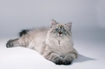 Lynx points tabby cat