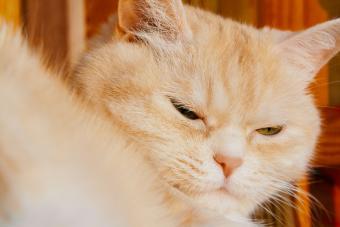 Cream tabby cat