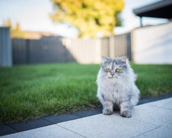 Blue tabby kitten